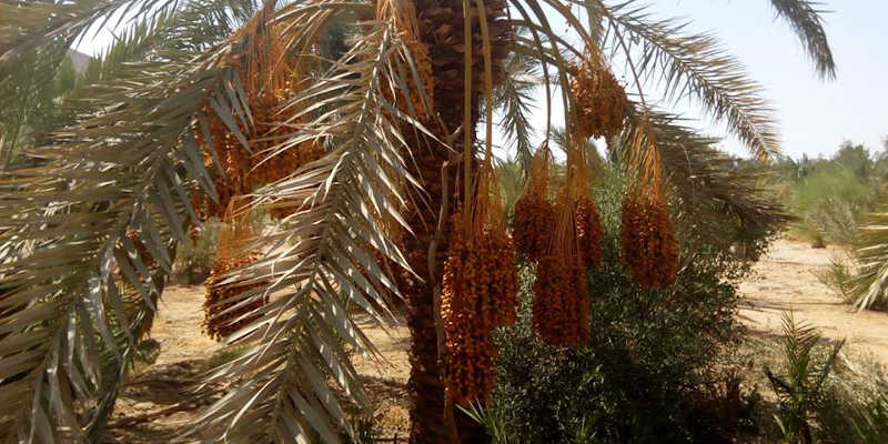 Homegrown production from dates in El Gouna Red Sea Egypt